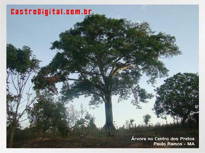 Árvore em Paulo Ramos - MA